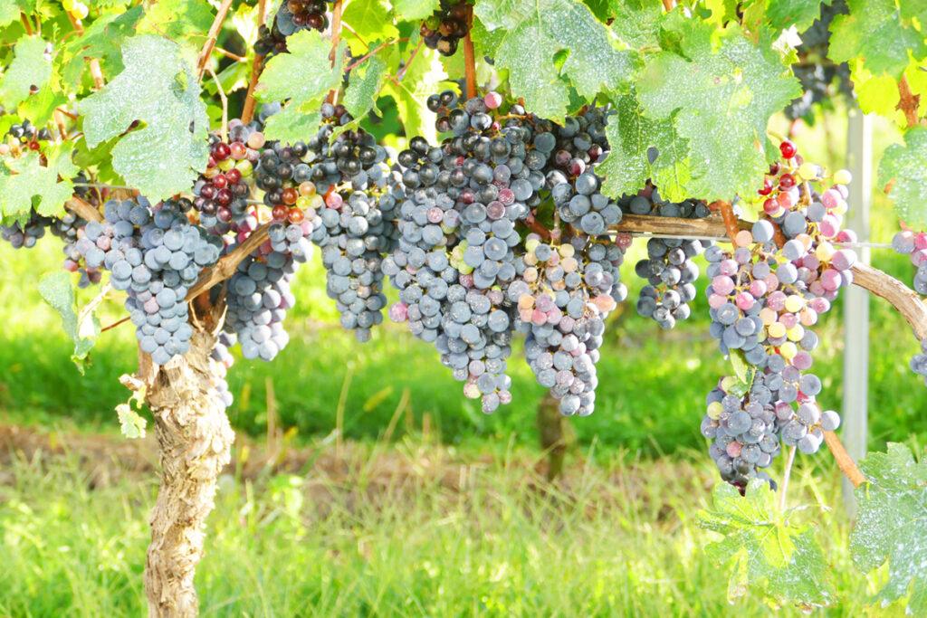 ワイン用の黒葡萄・葡萄畑